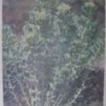 Запись 16. Золотой корень или родиола розовая.