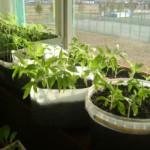 Запись 89.Как вырастить рассаду помидор без затрат.