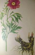 лекарственные травы сибири 002