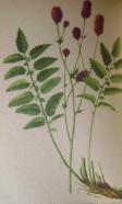 лекарственные травы сибири 004