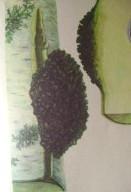 лекарственные травы сибири 005
