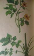 лекарственные травы сибири 006