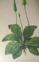 лекарственные травы сибири 007