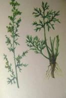 лекарственные травы сибири 008