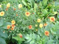 хризантемы 001