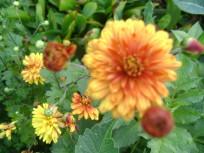 хризантемы 003