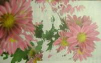 хризантемы 008